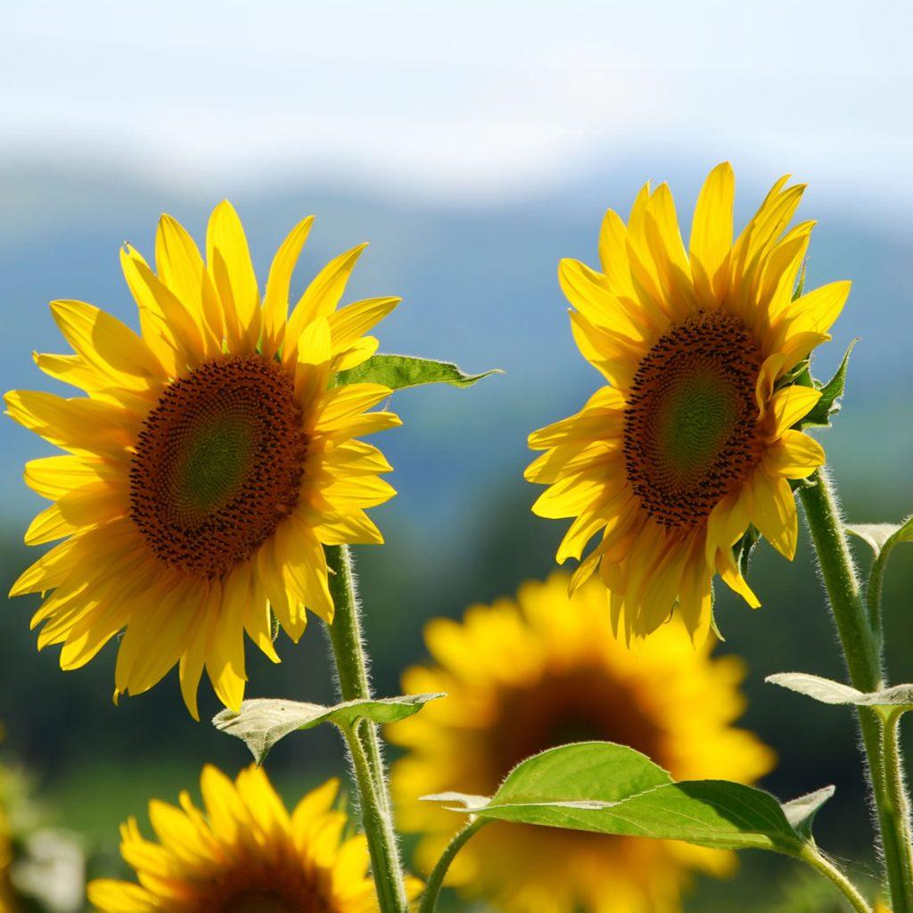Significados de las flores